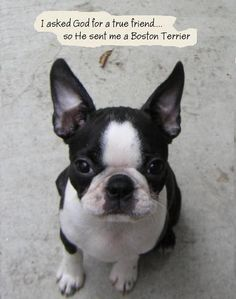 Boston terriers | Boston Terriers - JeanE's Bostons - Dr Jeannie, California
