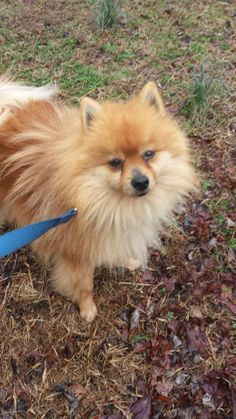 Will is approx 2.5 years old and although a little shy and scared, is quickly coming out of his shelter shock. A shelter is no place for a royal Pomeranian and Will knows it!