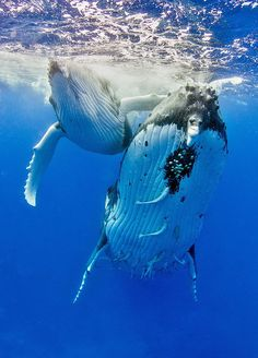 Humpback whales, female and 7-week-old calf by Tomas Kotouc on 500px