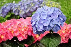 Φυτέψτε ορτανσίες για τα εντυπωσιακά λουλούδια τους