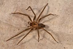 Brown Recluse Spider - This is a good image of a Brown Recluse (Fiddle Back) that clearly shows the fiddle shaped marking on its back. If you can't see it, the base of the fiddle is on its forehead with the neck of the fiddle pointing back.  The Brown Recluse is not normally an aggressive spider and usually only bites when it is threatened or pressed. It usually lives up to its name and stays out of the way in dark damp secluded areas.