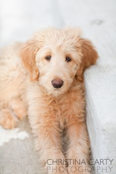 Yellow Goldendoodle