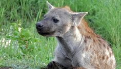 TIL A zoo in Japan once spent four years trying to mate a pair of hyenas before realizing they were both males due to how similar a female pseudo penis is to a real one.