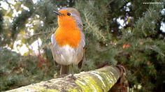 Pettirosso, richiamo tipico - European Robin (Erithacus rubecula) 156, Fototrappola a Corte Franca - YouTube