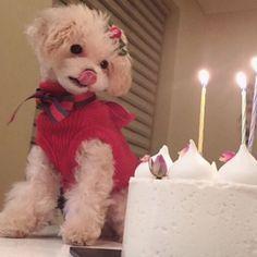 . 입맛다시는 샤샤 곧 돌아올 샤샤생일때는 더 맛난걸루 #결국샤샤는사과한조각으로 #행복한하루 . . . #샤샤 #독스타그램 #펫스타그램 #멍스타그램 #견스타그램 #dog #yummy #puppy #lovedogs #pet #cream #poodle #toypoodle #푸들 #크림푸들 #토이푸들 #브로콜리컷 #dogstargram #犬 #プードル #トイプードル