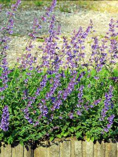 Kantnepeta - Perenner - Trädgårdsväxter