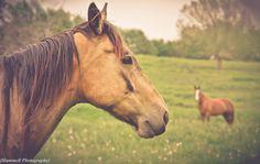 Horses , Taken in Mt. Pleasant , Iowa