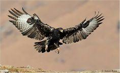 Black eagle Black Eagle, Retro Futurism, Eagles, Insects, Wings, Owl, Bird, Antiques, Animals