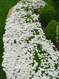 Candytuft: Hardy evergreen perennial ground cover for zones 3-9. - Just planted this by my front steps