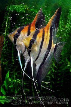 All Animals cichlids fish fish fish Betta reefs aquarium fish fish sharks Tropical Freshwater Fish, Tropical Fish Aquarium, Freshwater Aquarium Fish, Saltwater Aquarium, Aquascaping, Aquariums, Beautiful Fish, Beautiful Pictures, Angel Fish