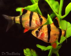 Tiger Barb (Barbus Tetrazona) - Adult size: 2.75 inches. Origin: Asia