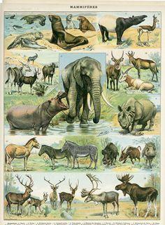 Mammals 1897 Antique Print African Mammals Print by Craftissimo, elephant Antique Prints, Vintage Prints, Animal Posters, Fauna, Wildlife Art, Animal Kingdom, Mammals, Primates, Animals And Pets