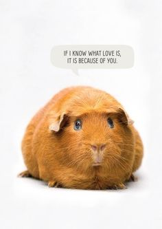 A romantic greeting card featuring a guinea pig and a speech bubble with text 'If I know what love is, it is because of you. Baby Guinea Pigs, Guinea Pig Care, Baby Pigs, Baby Bunnies, Cute Funny Animals, Cute Baby Animals, Guniea Pig, Cute Piggies, Fur Babies