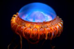 """When threatened the Atolla Jellyfish respond by creating a moving  circular wave of light around their outer edge which is referred to as a  """"burglar alarm"""" response. Scientists theorise that jellyfish use this  response to attract large animals in to eat jellyfish predators. So basically, when the jellyfish is under attack, it starts lighting up so that other, bigger, scarier animals will be attracted to the scene and (hopefully) eat the thing attacking the Atolla Jelly."""