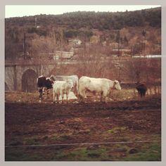 vacas, paisaje Latour-de-Carol, Cerdanya, Catalunya nord-France  by Pedro Pou