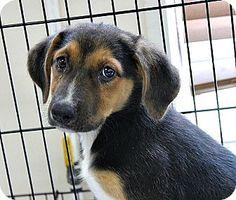 7/12/17 Philadelphia, PA - Hound (Unknown Type) Mix. Meet Cheesecake, a puppy for adoption. http://www.adoptapet.com/pet/18571591-philadelphia-pennsylvania-hound-unknown-type-mix
