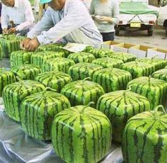 """Retailers in Japan wanted watermelons to be more efficient in transport and take up less space in stores. A farmer decided to think """"inside the box"""".  Plant the seeds in a transparent plastic case."""