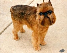 Review of the rare and exciting Brussels Griffon dog breed: Origin, Ways to Registration, Appearance, Sustaining, Grooming, Temperament, Training, Health. Photos, video.