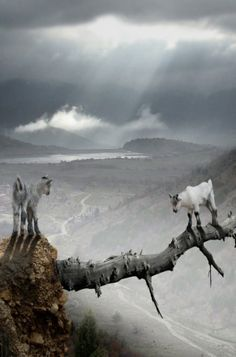 Goats Out On A Limb