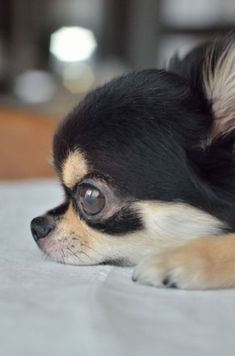 So cute ❤ #chihuahua