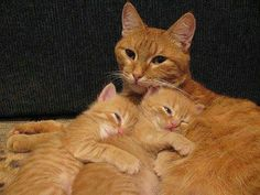 Orange Mother cat and her two kittens, orange perfection.