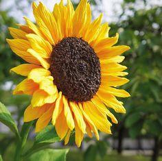 Big Clay Sunflower🌻🌻🌻 . 新しく発売されたポピー用のシリコンモールドを使って、顔位の大きなヒマワリを作ってみました♪🤗 . . #decoclaycraftacademy #decoclay #claycraftbydeco #clayflowers #sunflower  #flower #handmade #decoクレイクラフト #デコクレイ #クレイフラワー #クレイ #ひまわり #向日葵 #花のある暮らし #ハンドメイド #習い事 #枚方