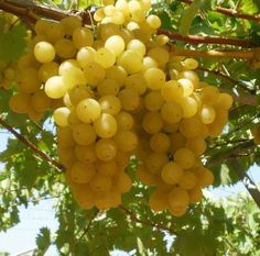 Grapes...so beautiful in the sunlight
