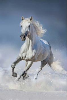Poster, Tablou Horse in snow Beautiful Arabian Horses, Most Beautiful Horses, Animals Beautiful, Horses In Snow, White Horses, Horse Galloping, Andalusian Horse, Horse Photos, Horse Pictures