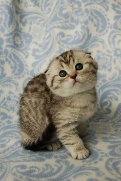 Okay I will accept scottishfolds as well.. BUT thats it.