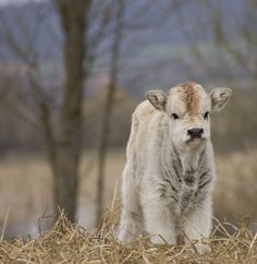 Fluffy baby cow!