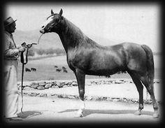 Abu Farwa (Rabiyas x Rissletta) A 1940 Arabian stallion of Crabbet bloodlines who had a tremendous impact on the Arabian breed as a sire of performance horses.
