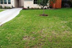 Blog - Chinch Bug Damage in Lawns - Soils Alive, Inc. - Dallas, TX