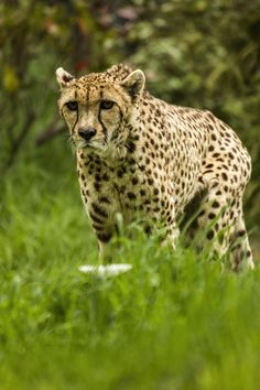 Cheetah in a Grassy Clearing. Doesn't Look too Happy Though.