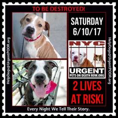 TO BE DESTROYED 06/10/17 - - Info   To rescue a Death Row Dog, Please read this:http://information.urgentpodr.org/adoption-info-and-list-of-rescues/  To view the full album, please click here:http://nycdogs.urgentpodr.org/tbd-dogs-page/ -  Click for info & Current Status: http://nycdogs.urgentpodr.org/to-be-destroyed-4915/