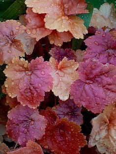 Heucheras are an easy to grow shade plant with distinctive foliage and they come in many colors.