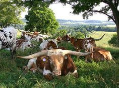 Longhorns under pecan trees... As Texas you can get.