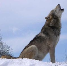 THE HOWLING OF THE ' GRAY WOLF'.