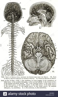 Stock Photo - nervous system spinal cord brain cranial nerve cerebrum diagram chart anatomical cross section sensory perception neural pathway Anatomy Sketches, Anatomy Drawing, Anatomy Art, Human Anatomy, Medical Illustration, Illustration Art, Nerve Anatomy, Medical Wallpaper, Systems Art