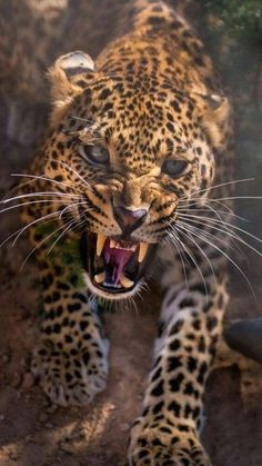 Angry Animals, Animals And Pets, Cute Animals, Beautiful Cats, Animals Beautiful, Jaguar Animal, Big Cats Art, Majestic Animals, Tier Fotos
