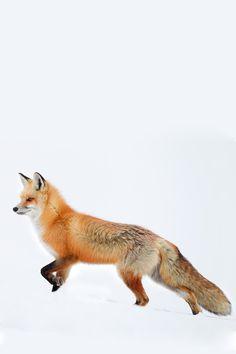 archangvl:  Another Red Fox   Tin Man