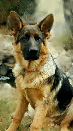 young gsd have a wonderful life my handsome one www.capemaydogs.com