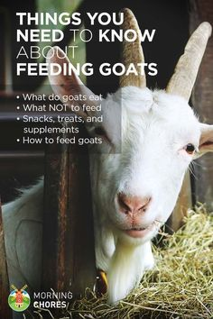 Planning to raise goats? Here's everything you need to know about feeding goats: what do goats eat, best snacks or treats, what NOT to feed them, and how to feed your goat. Keeping Goats, Raising Goats, Raising Chickens, Raising Farm Animals, Baby Chickens, Mini Goats, Baby Goats, Cabras Boer, Pigmy Goats