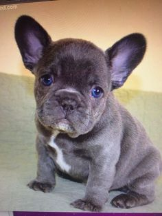 Blue French bulldog... Love these little dogs