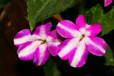impatiens, lovely shade friendly flower