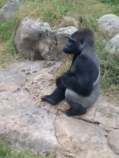 Gorilla at zoo