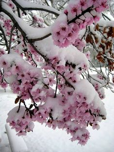 Snow covered spring blooms  #flowers #snow #springblooms