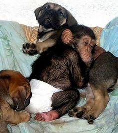 Après le repas, vient l'heure d'une petite sieste bien méritée pour nos chiots et le petit chimpanzé