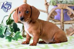 Molly – Dachshund – Miniature Puppies for Sale in PA | Keystone Puppies