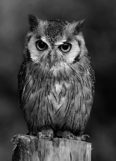 """There's a (harrumph"""" in there someplace. Amazing Drawings, Art Drawings, Owl Tat, Owl Pictures, Beautiful Owl, Owl Bird, Tier Fotos, Baby Owls, Cute Owl"""