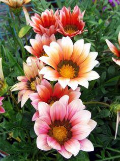 More #GazaniaMania  Happy Sunday! — #GazaniaLuv #flowers #flowersforfriends #awesomeblossom #colors #nature #ThisIsMyThankYou #beautiful #ThisIsMyThankYou • LynnO on Streamzoo
